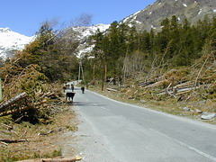 Trees fallen due to the avalanche